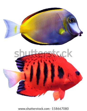 Tropical exotic fish isolated on white - stock photo