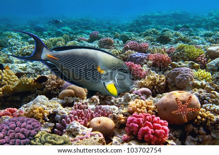 Tropical fish Acanthurus sohal and Coral reef, Red Sea, Egypt.