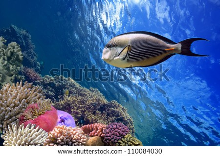 Tropical fish Acanthurus sohal and Coral reef, Red Sea, Egypt - stock photo