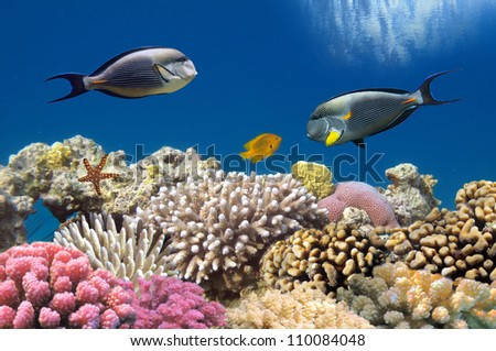 Tropical fish Acanthurus sohal and Coral reef, Red Sea, Egypt. - stock photo