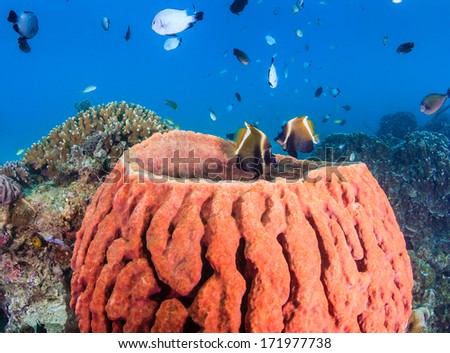 Tropical fish and a barrel sponge on a pacific coral reef - stock photo