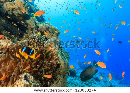 Tropical fish and a clownfish swim around a coral reef - stock photo