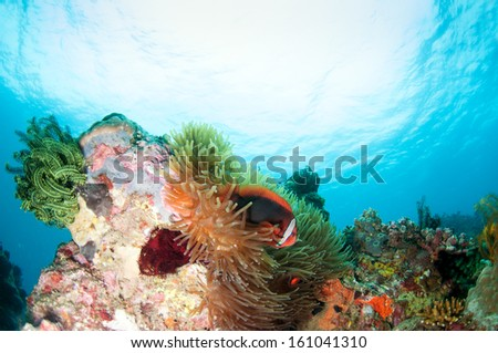 Tropical Fish and Coral Reef in Sunlight, Anilao, Philippine. - stock photo