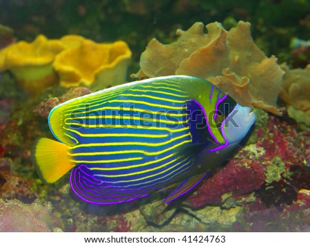 Tropical fish. Angelfish in a home aquarium on the background of coral . - stock photo
