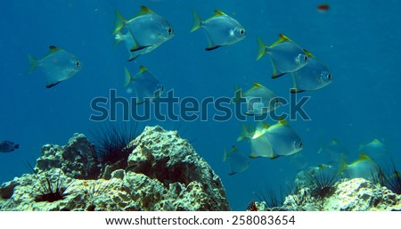 tropical fish at the coral reef of Anemone Reef, Thailand - stock photo