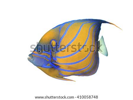 Tropical fish: Blue-ringed Angelfish isolated on white background - stock photo