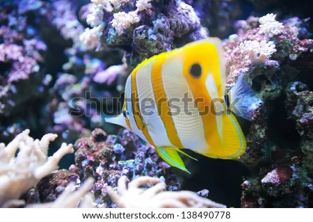 Tropical fish Butterflyfish and coral