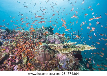 Tropical fish, corals and sponges around a thriving tropical coral reef, Anilao, Philippines.
