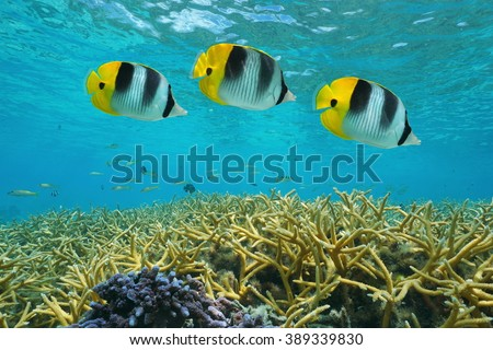 Tropical fish double-saddle butterflyfish over staghorn coral, underwater in the lagoon, Pacific ocean, Huahine, French Polynesia - stock photo