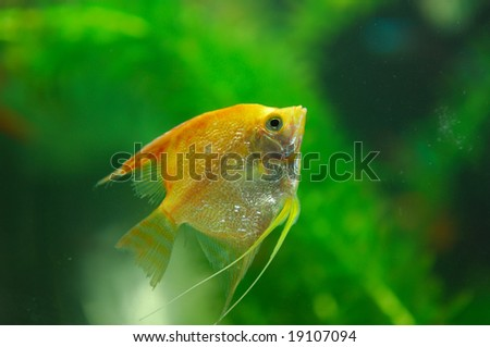Tropical fish  in an aquarium whit water  on background - stock photo