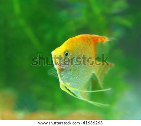 Tropical fish in an aquarium with water on background - stock photo