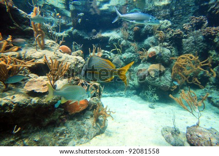 Tropical fish in Caribbean Sea, Mexico