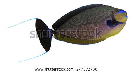 Tropical fish isolated: Bignose Unicornfish on white background - stock photo