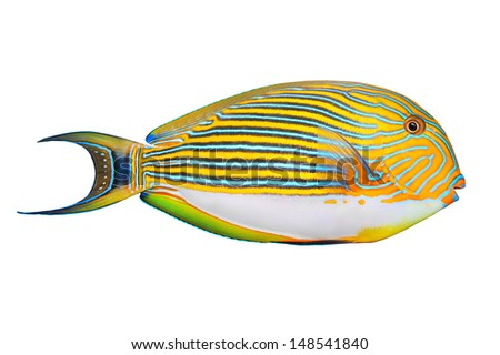Tropical fish isolated on a white background. The Clown Surgeonfish (Acanthurus lineatus).  - stock photo