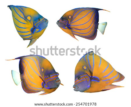 Tropical fish isolated on white: Blue-ringed Angelfishes - stock photo