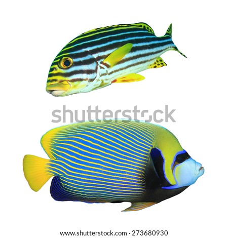 Tropical fish isolated on white: Oriental Sweetlips and Emperor Angelfish - stock photo