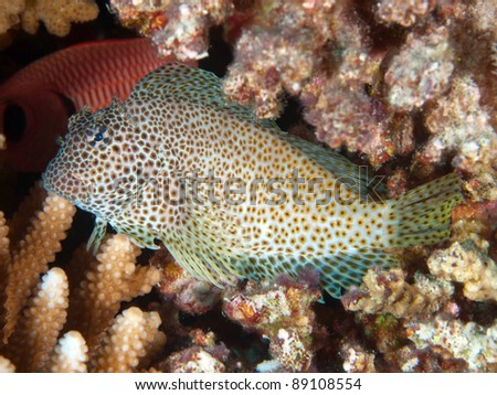 Tropical fish - Leopard blenny