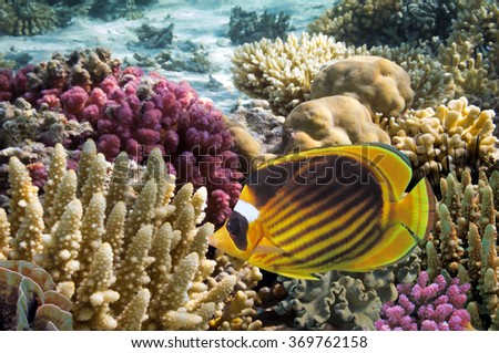 Tropical fish on the coral reef in Red Sea, Egypt. - stock photo