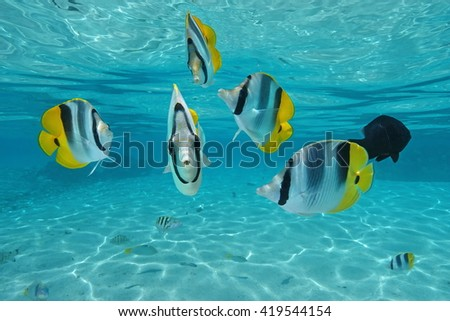 Tropical fish Pacific double-saddle butterflyfish, underwater in the lagoon, Pacific ocean, French Polynesia - stock photo