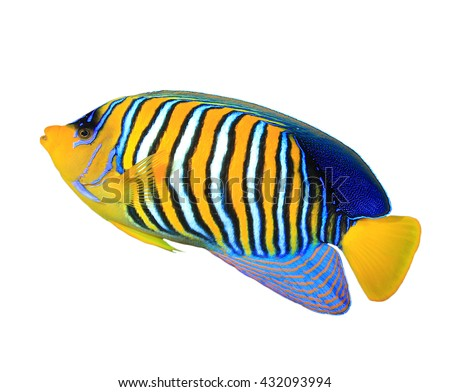 Tropical fish: Regal Angelfish isolated on white background - stock photo