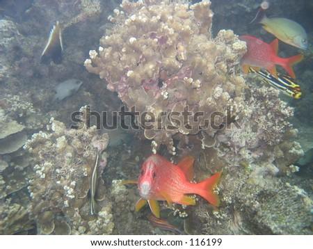 Tropical Fish, Samoa - stock photo