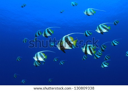 Tropical Fish: Schooling Bannerfish underwater in the blue water of the Red Sea - stock photo
