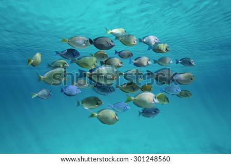 Tropical fish schooling (doctorfish and surgeonfish) below ripples of water surface in the ocean - stock photo