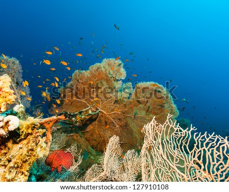 Tropical fish swim around a large fan coral on a tropical reef - stock photo