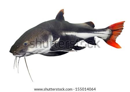 Tropical fish. The Red Tail Catfish (Phractocephalus hemiliopterus). - stock photo