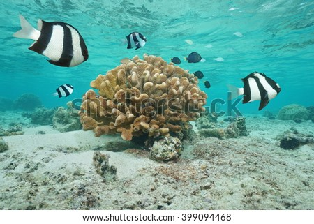 Tropical fish whitetail dascyllus damselfish on foreground with cauliflower coral in shallow water of the lagoon, Moorea, Pacific ocean, French Polynesia - stock photo