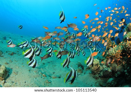 Tropical Fish with Scuba Divers in background - stock photo