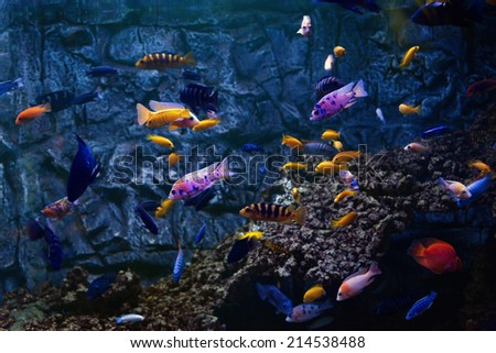 Tropical fishes swim near coral reef. Selective focus. - stock photo
