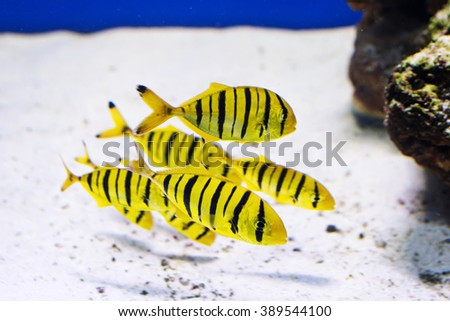 Tropical fishes swim near coral reef. Underwater life - stock photo