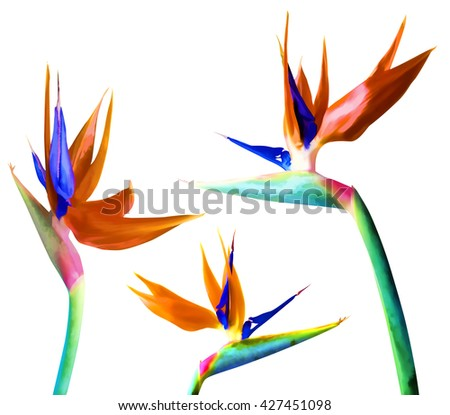 Tropical floral set. Strelitzia, bird of paradise flower or plant on white background.