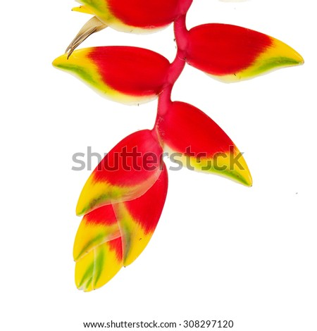 Tropical Flower Heliconia, isolated on white. - stock photo