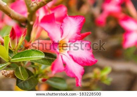Tropical flower Pink Adenium or Desert rose on blur background