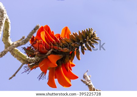 Tropical flowering plant Erythrina crist-galli: Common name Coral Tree - Flame Tree. - stock photo