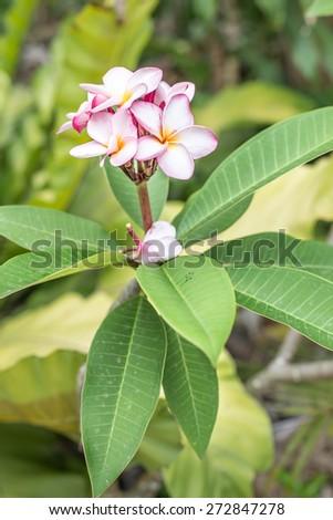 Tropical flowers frangipani (plumeria) in the garden. - stock photo