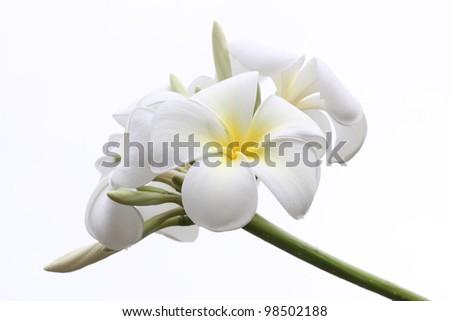 Tropical flowers frangipani (plumeria) isolated on white - stock photo