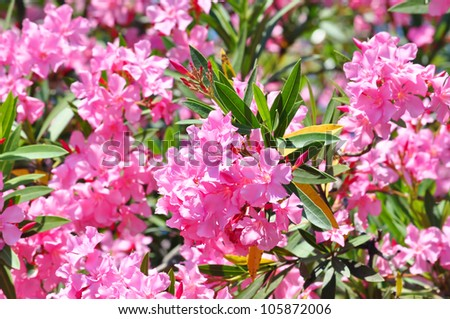 tropical flowers pink oleander tree blossom stock photo, Natural flower
