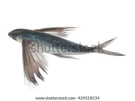 Tropical flying fish isolated - stock photo
