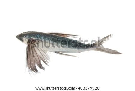 Tropical flying fish isolated on white background - stock photo