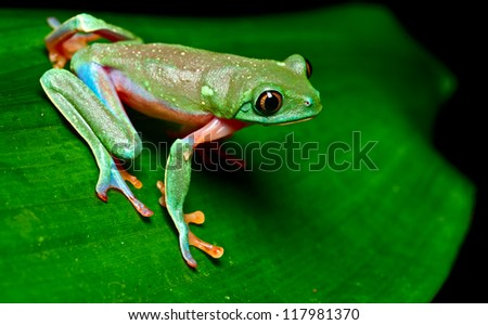 tropical frog on leaf in rain forest of Costa Rica tree frog Agalychnis annae is a beautiful colorful treefrog and nocturnal amphibian - stock photo
