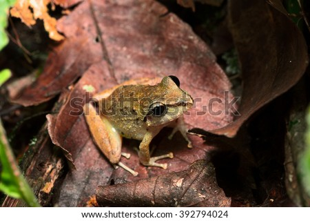 tropical frog pristimantis sp. in the tropical Amazon rain forest of Brazil Peru Ecuador and Bolivia. A macro of a small nocturnal animal of the Amazonian rainforest. - stock photo