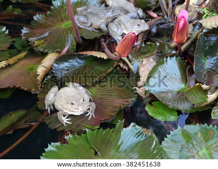 tropical frog submerged on a lotus leaf