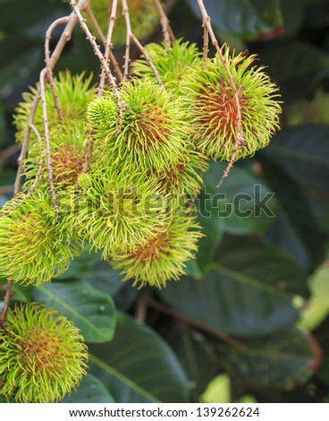 Tropical fruit,  Rambutan fruits (Nephelium lappaceum) in garden