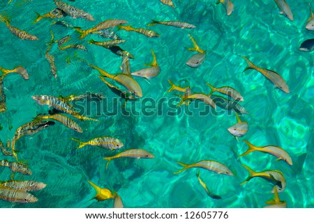 Tropical golden fishes in clear waters near Cuban coast