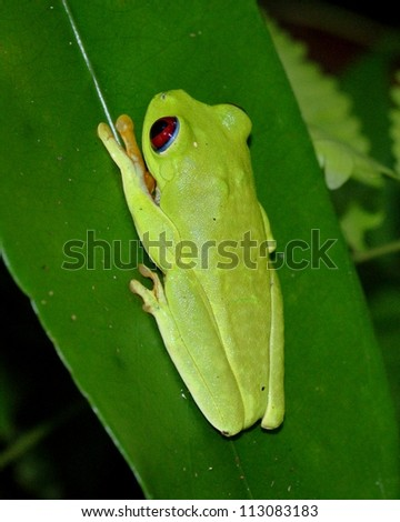 Tropical green frog in the rainforest - Red-eyed Treefrog, Agalychnis callidryas