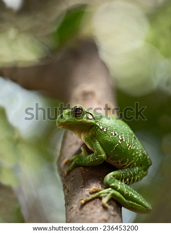 tropical green tree frog Hypsiboas riojanus. - stock photo