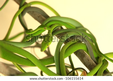 Tropical Green Tree Snake in Malaysia - stock photo
